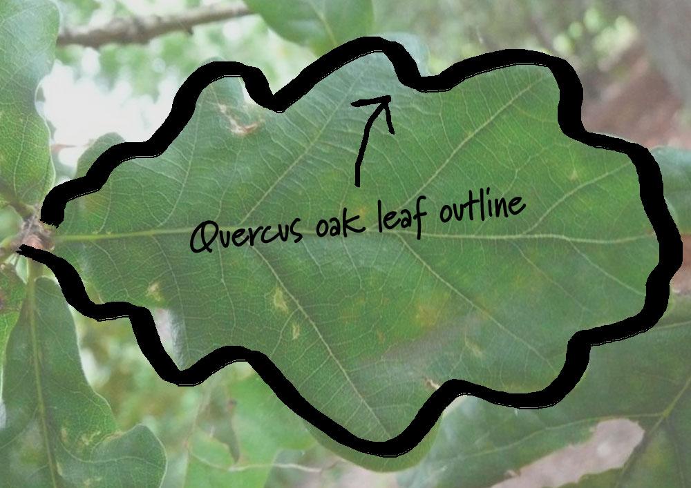 Quercus logo concept